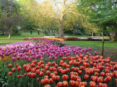 Danmarks største Tulipanfestival